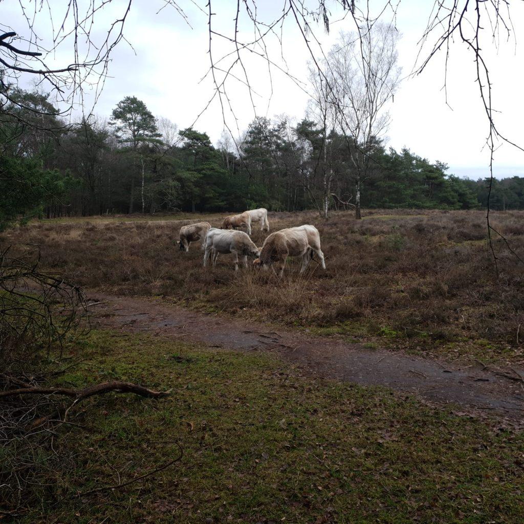 Piëmontese koeien op het Leersumse Veld
